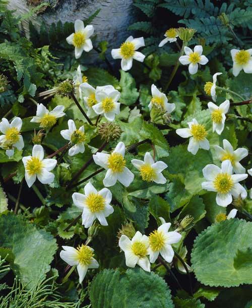 Native Woodland Plants: Native Woodland Plants