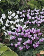Special Offer Cyclamen hederifolium AGM - 8 mixed leaved forms.