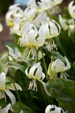 Erythronium californicum 'White Beauty' AGM