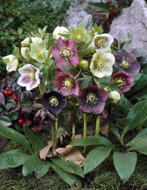 helleborus x hybridus  u2013 vancouver island grows