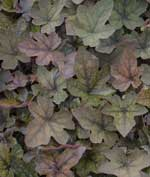 x Heucherella 'Art Deco'