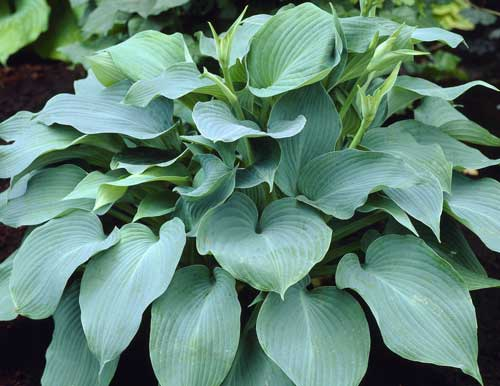 hosta a to j cultivars. Black Bedroom Furniture Sets. Home Design Ideas