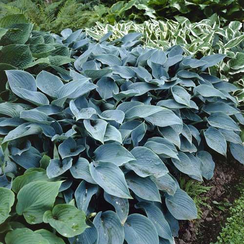 Hosta A To J Cultivars