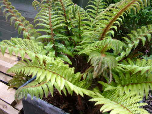 Evergreen Ferns For Pots Or A Shady Border