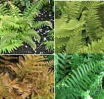 4 x Evergreen ferns for pots or shady borders