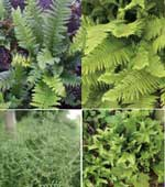 4 x Ferns that will tolerate dry shade