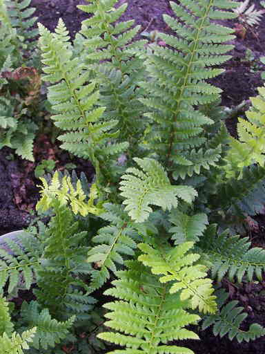 Polystichum Aculeatum
